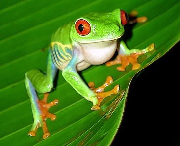 Red Eyed Tree Frog clipart australian Frog red Yara ma the