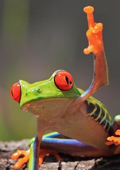 Red Eyed Tree Frog clipart australian Toads Search Google  Frogs