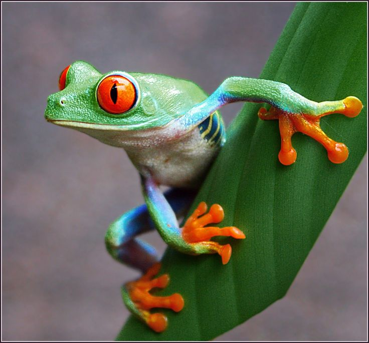 Red Eyed Tree Frog clipart australian Images best 41 Tree Frog