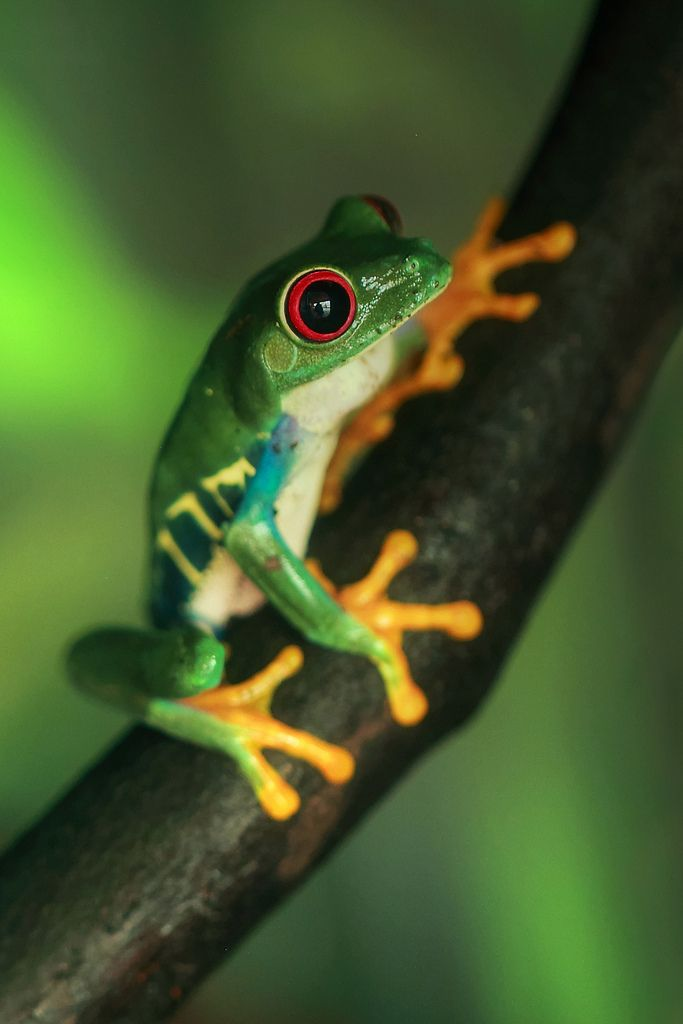 Red Eyed Tree Frog clipart beginner #15
