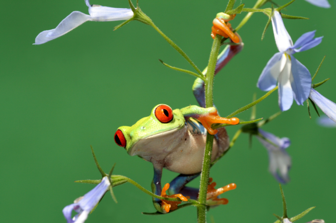 Red Eyed Tree Frog clipart colorful frog #1