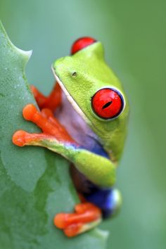 Red Eyed Tree Frog clipart coqui #10