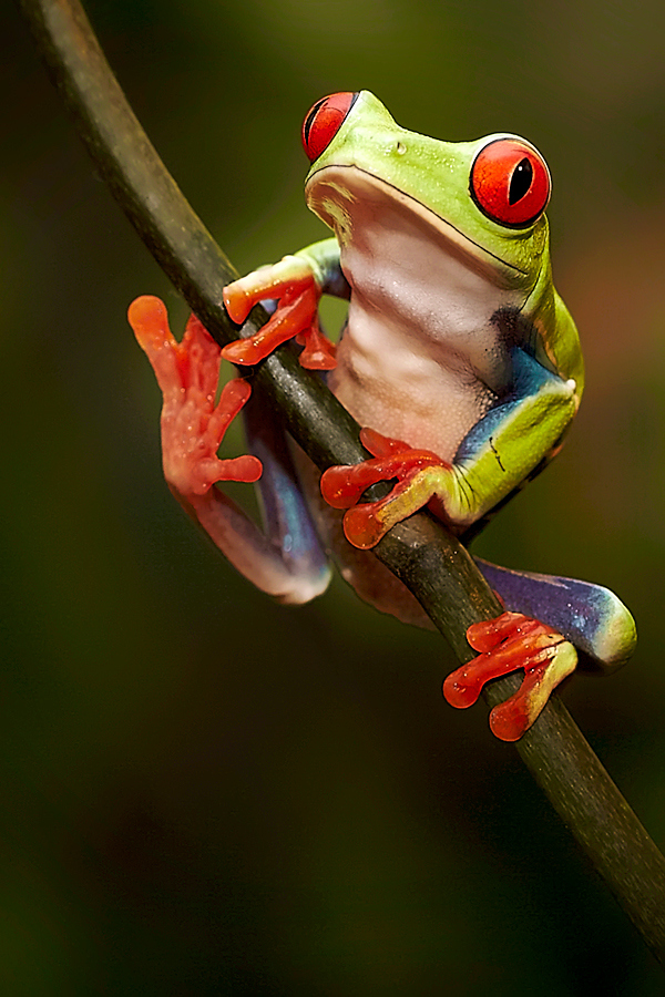 Red Eyed Tree Frog clipart coqui #4