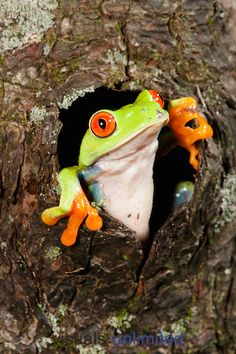 Red Eyed Tree Frog clipart coqui #14