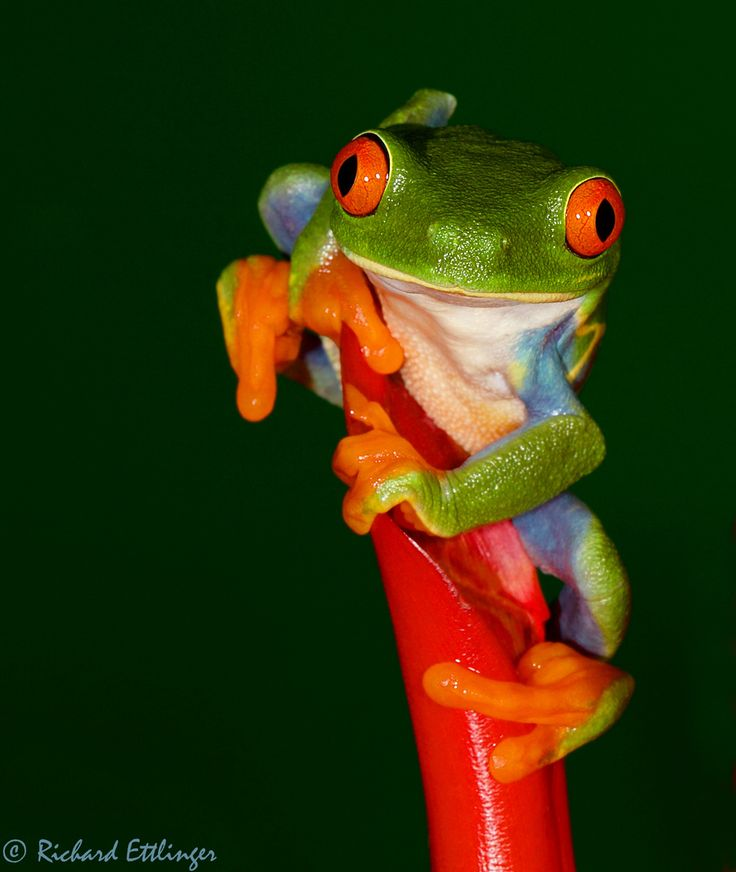Red Eyed Tree Frog clipart coqui #12