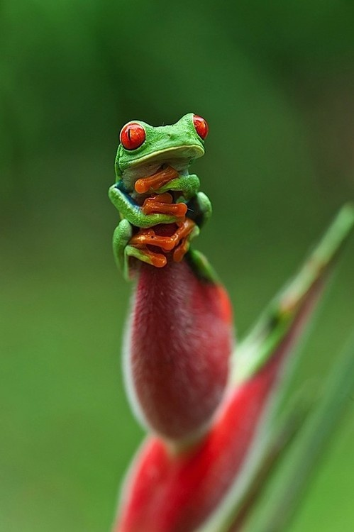 Red Eyed Tree Frog clipart coqui #11