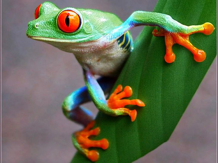Red Eyed Tree Frog clipart realistic #8