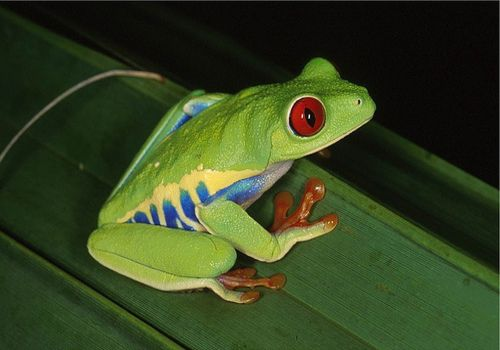Red Eyed Tree Frog clipart realistic #11