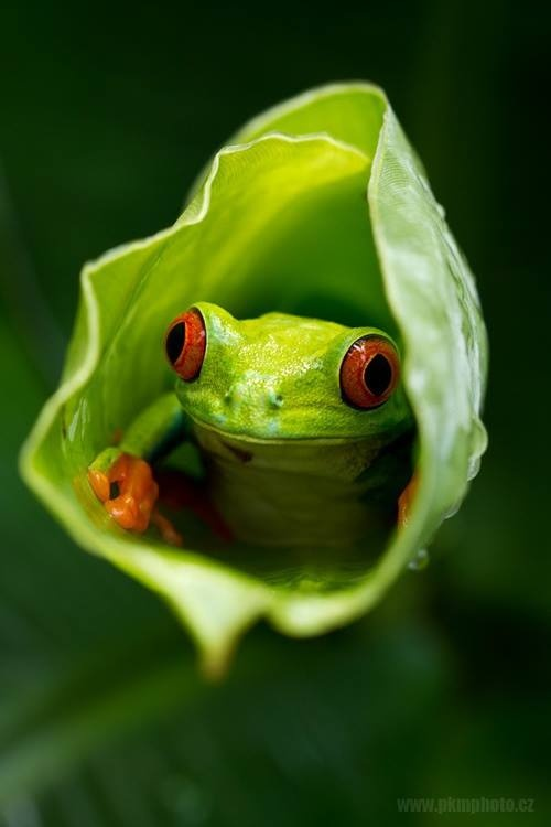 Red Eyed Tree Frog clipart realistic #12
