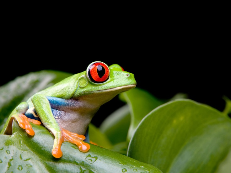 Red Eyed Tree Frog clipart realistic #13