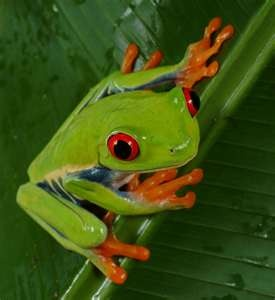 Red Eyed Tree Frog clipart realistic #10