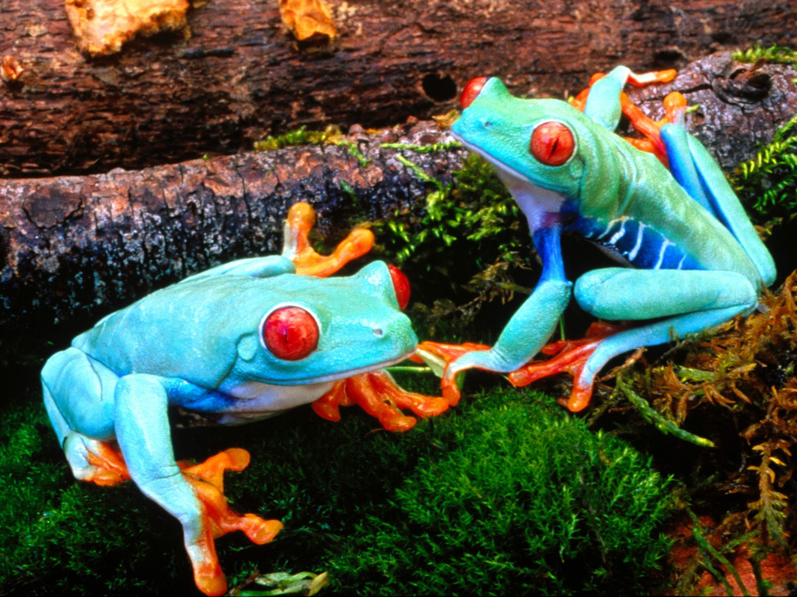 Red Eyed Tree Frog clipart realistic #15