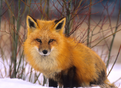 Red Fox clipart guides #14