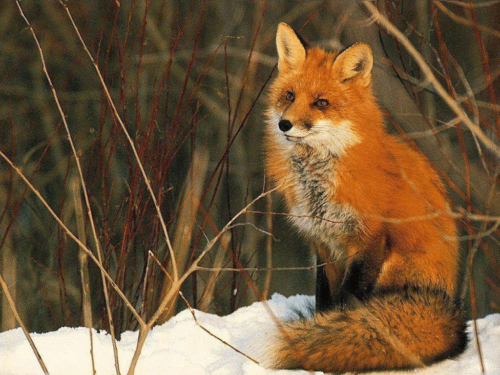 Red Fox clipart omnivore #6