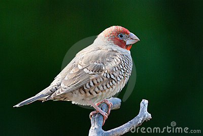 Red Headed Finch clipart Headed #1 Red Download clipart