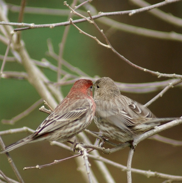 Red Headed Finch clipart couple bird #11