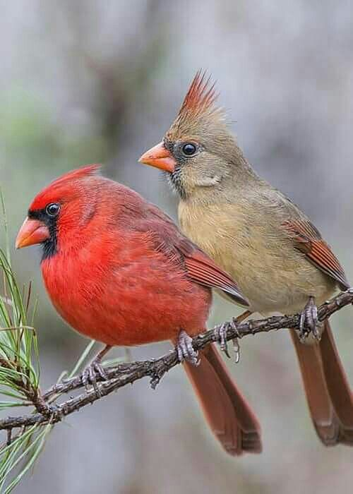 Red Headed Finch clipart couple bird #5
