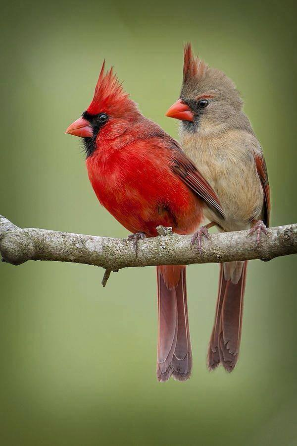 Red Headed Finch clipart couple bird #4