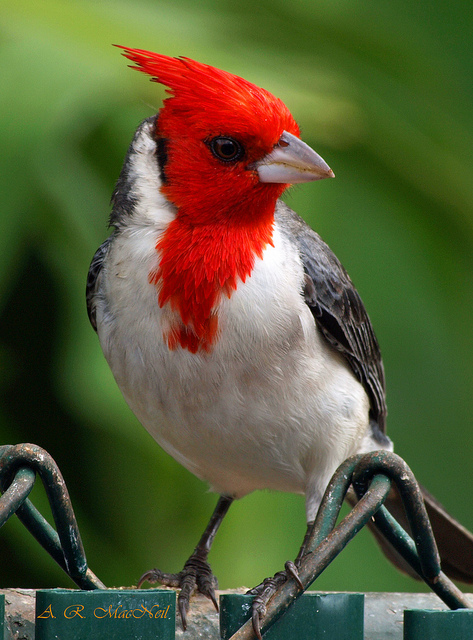 Red Headed Finch clipart couple bird #7