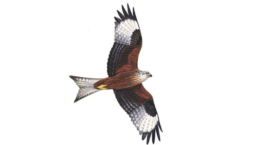 Red Kite clipart The Red RSPB: Red kite