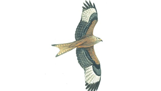Bird Of Prey clipart red Kite juvenile Red RSPB: The