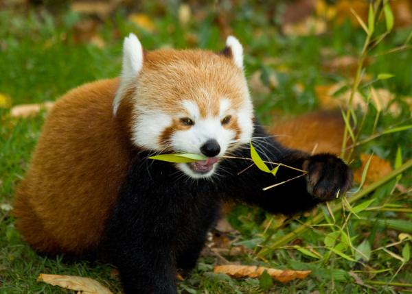 Red Panda clipart 1080p #8
