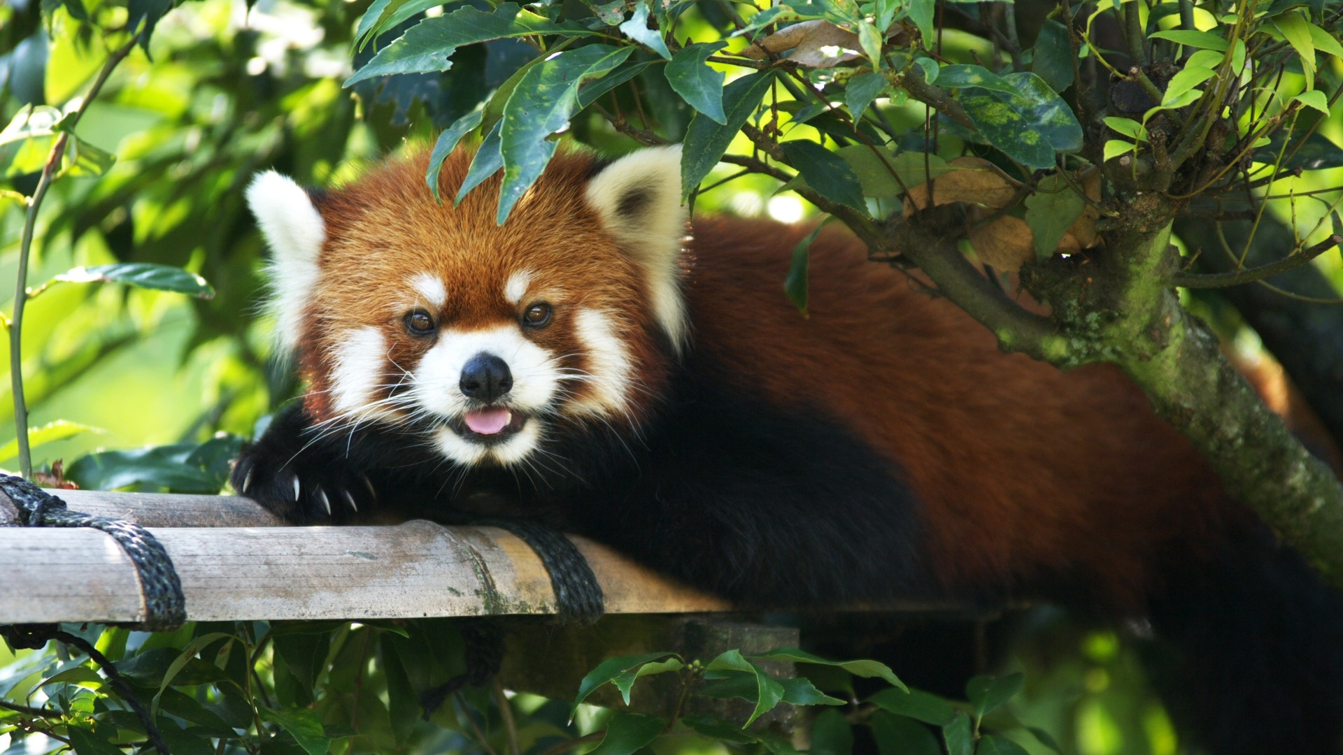 Red Panda clipart 1080p #11