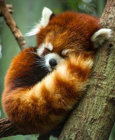 Red Panda clipart chubby #6