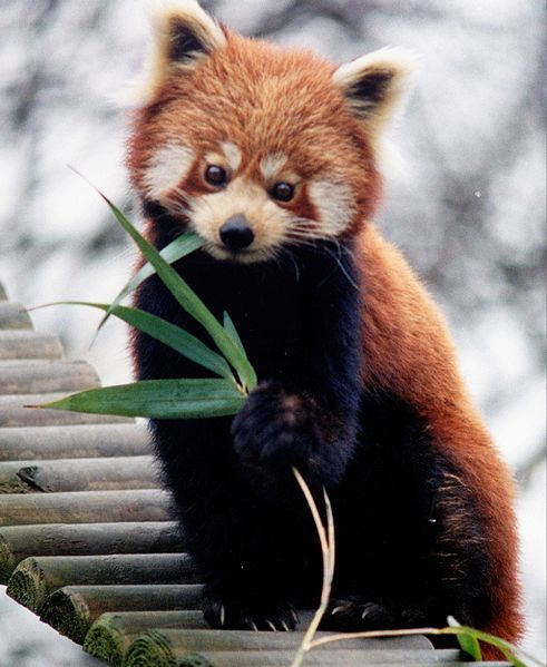 Red Panda clipart domesticated #14