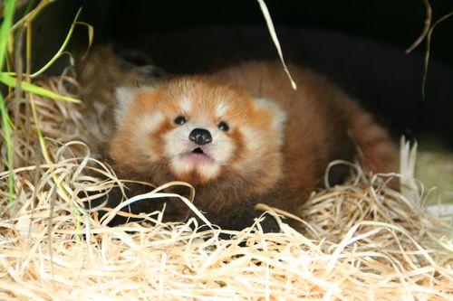 Red Panda clipart newborn Planckendael ZooBorns Pandas Red 6