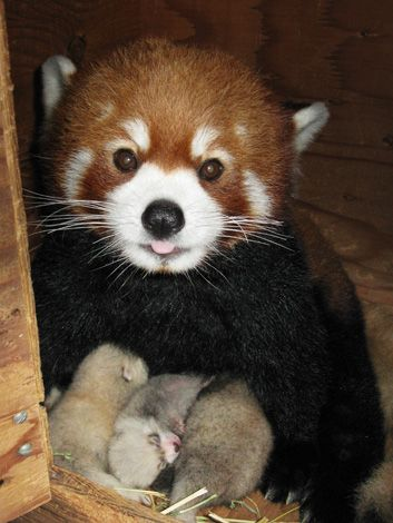 Red Panda clipart newborn Triplets our Panda Zoos North