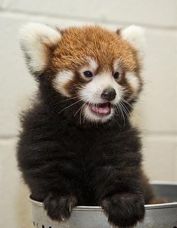 Red Panda clipart newborn Pinterest 97 on Baby Zoo