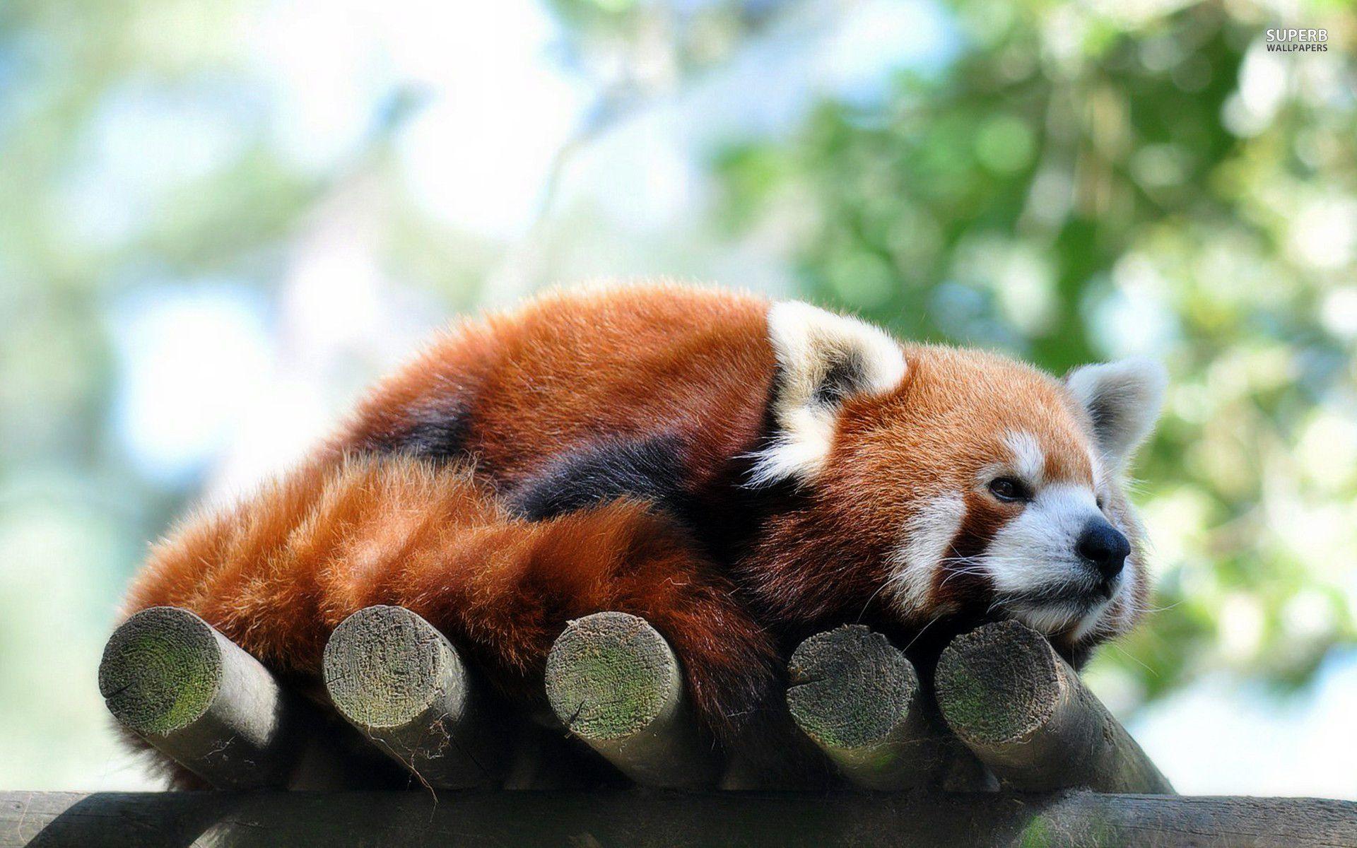 Red Panda clipart newborn Com Wallpaper Scromy  Blue