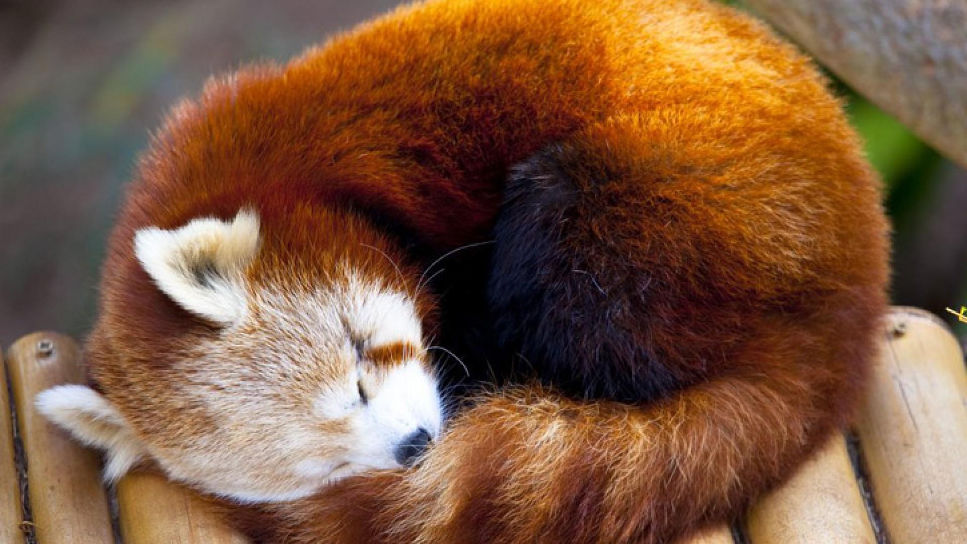 Red Panda clipart newborn Pandas Baby Red Pandas