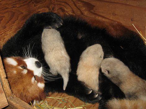 Red Panda clipart newborn Pandas! babies! Red on Red