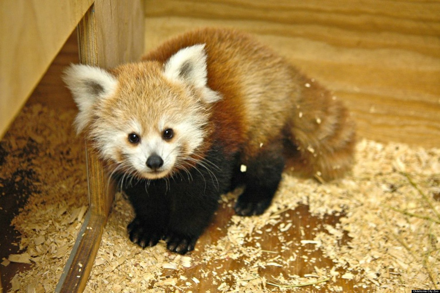 Red Panda clipart newborn Playing Newborn Pandas Pandas wallpaper