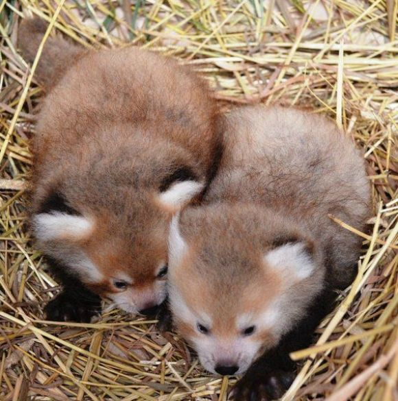 Red Panda clipart newborn Sugar double them about 50
