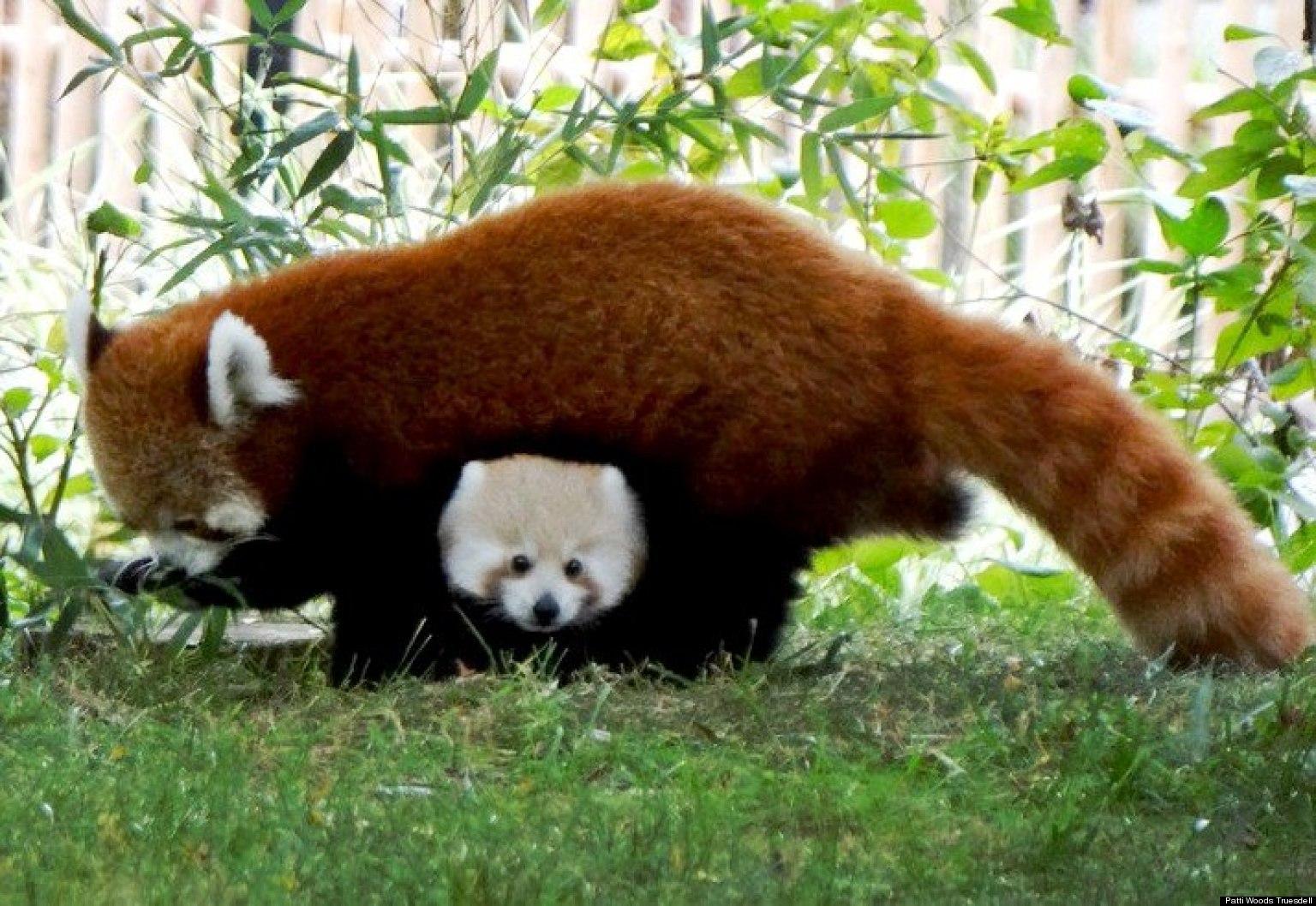 Red Panda clipart newborn Red Baby Baby panda Panda