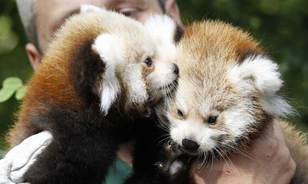 Red Panda clipart newborn Cubs Berlin twin chinadaily Berlin