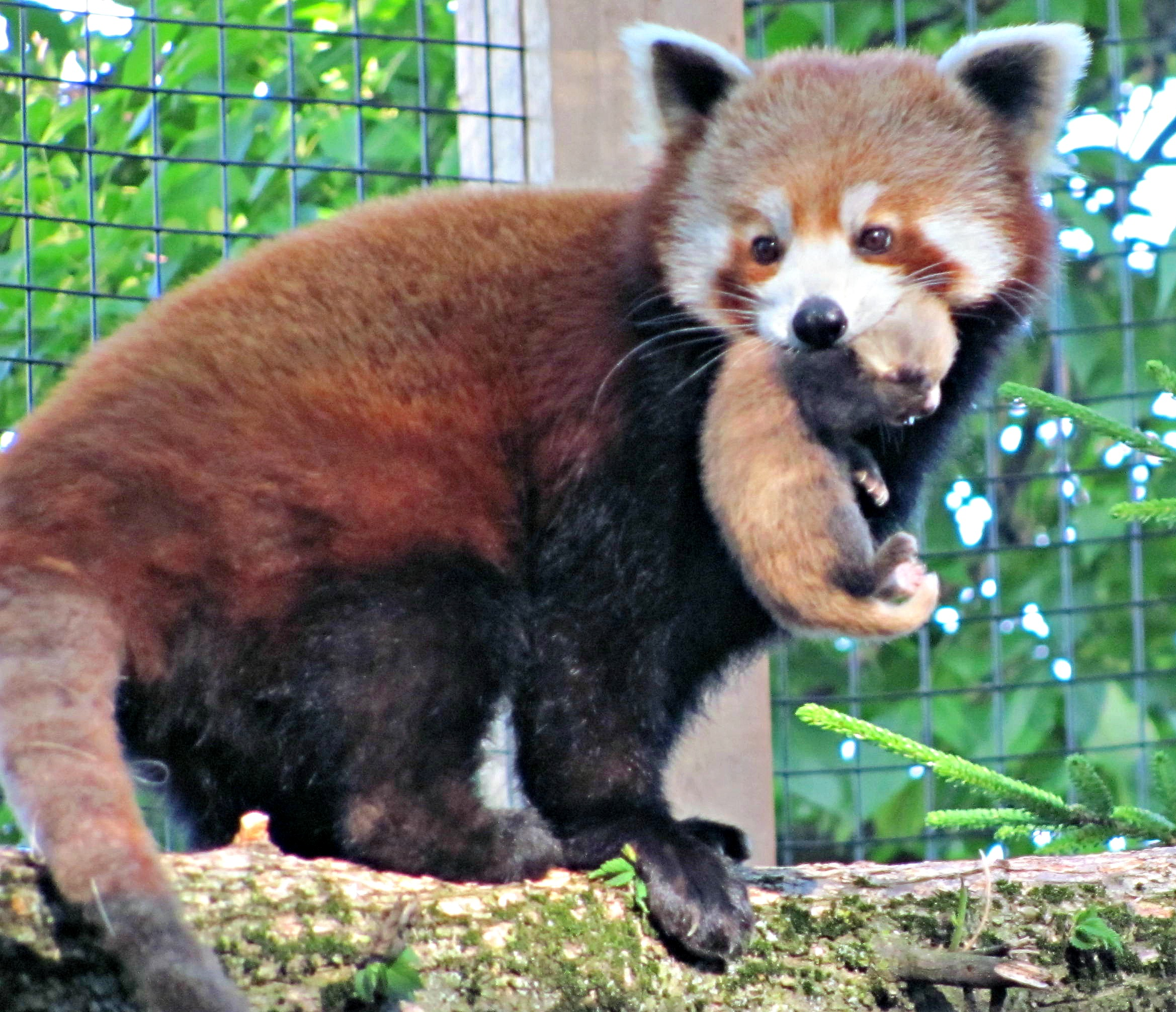 Red Panda clipart newborn Red #5677014 31 for Images