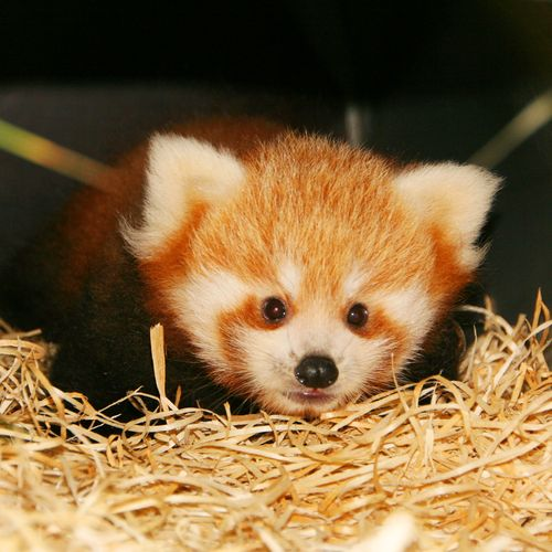 Red Panda clipart newborn Planckendael ZooBorns Pandas Red 2