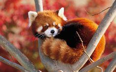 Drawn red panda adorable baby Attack Cute Panda Super Red