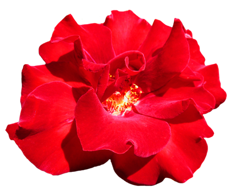 Rose clipart png tumblr #7