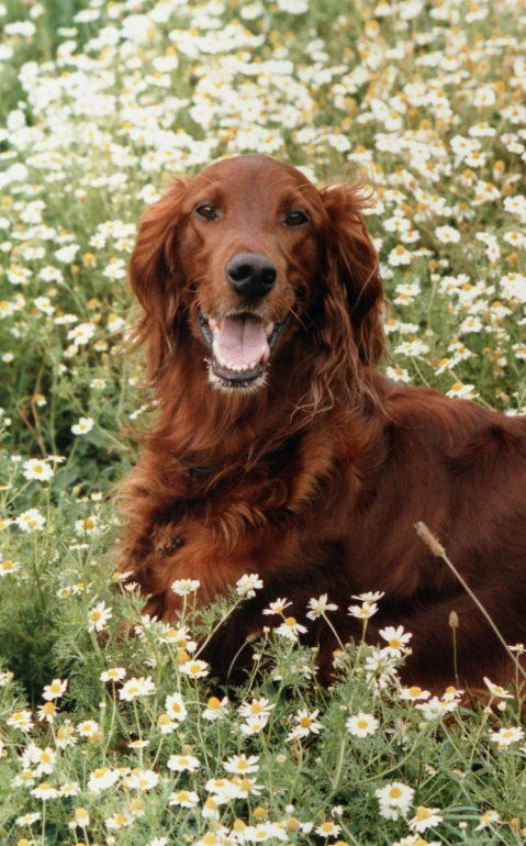Red Setter clipart dog rescue #14