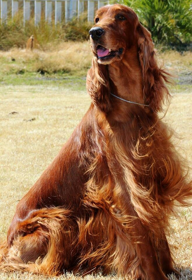 Red Setter clipart Grandmother's on Animals Setter my