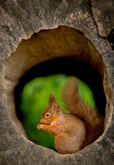 Red Squirrel clipart chipmunk #13