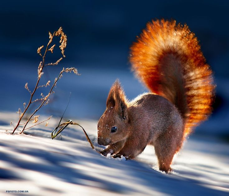 Red Squirrel clipart living thing #8