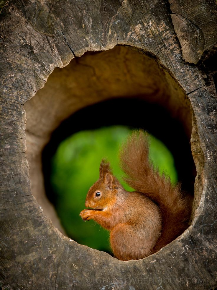Red Squirrel clipart living thing #14