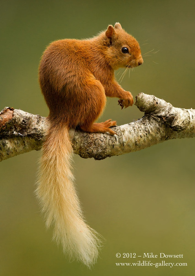 Red Squirrel clipart living thing #15