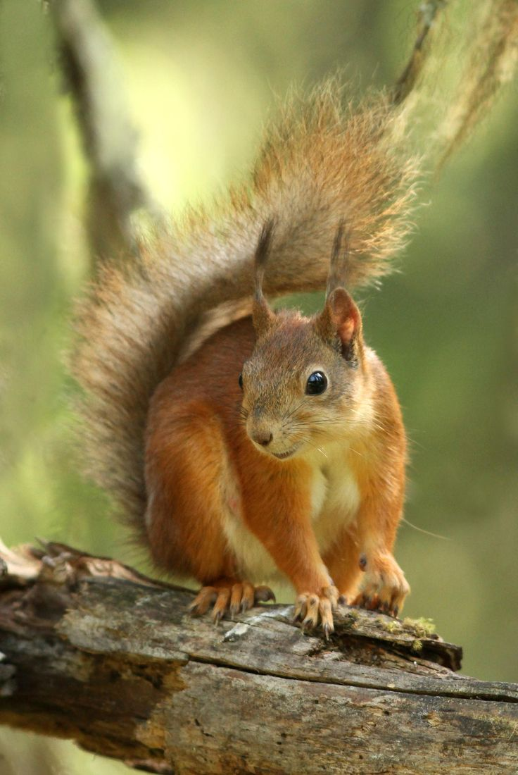 Red Squirrel clipart living thing #10
